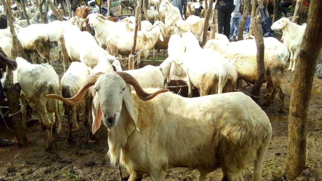 Marché aux bétails de Grabal à Lafiabougou Koda - Crédit photo: Kibaru Online